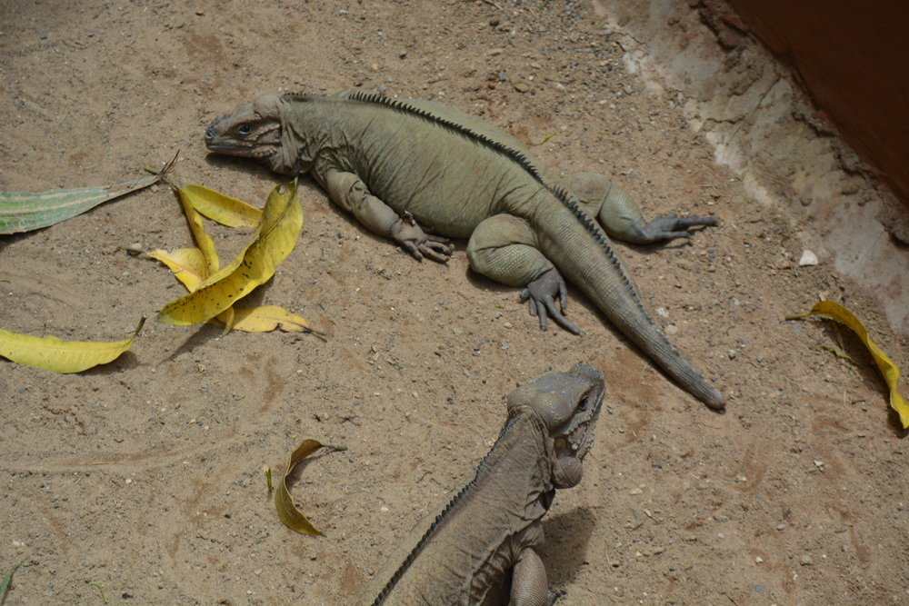 "There was a little ""zoo"" there too, home to a few animals, including the laziest iguana I've ever seen!"